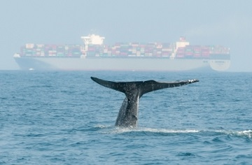 Blue Whale Tail and Cargo Ship